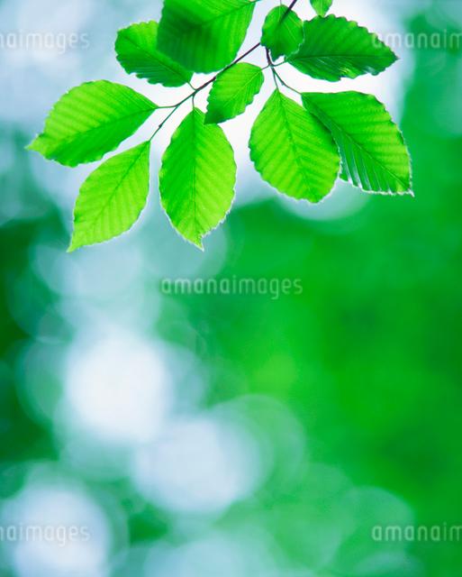 ブナの若葉の写真素材 [FYI01527630]