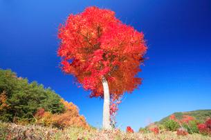 紅葉のモミジ木立の写真素材 [FYI01527715]