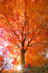紅葉のモミジ木立と木漏れ日の写真素材 [FYI01527729]