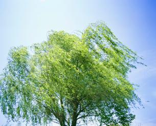 ヤナギと風 御殿場公園の写真素材 [FYI01527736]