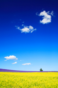 菜の花とラベンダー畑と木立の写真素材 [FYI01528058]