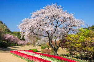 桜とチューリップ畑の写真素材 [FYI01528135]