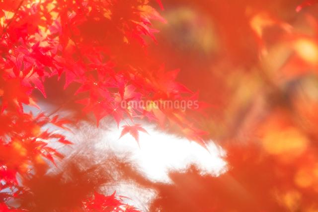 紅葉のモミジの葉と輝く水面の写真素材 [FYI01528313]