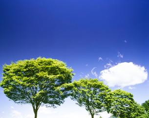 新緑のケヤキの写真素材 [FYI01528360]