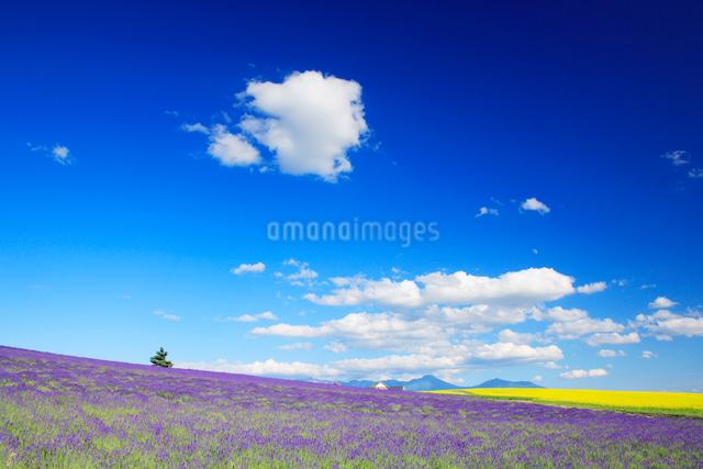 菜の花とラベンダー畑と木立の写真素材 [FYI01528374]