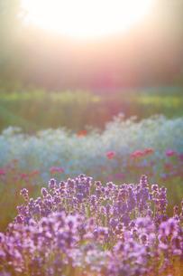 ラベンダーとカスミソウの花畑と光芒の写真素材 [FYI01528383]