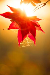 紅葉のモミジとクモの巣 夕景の写真素材 [FYI01528601]