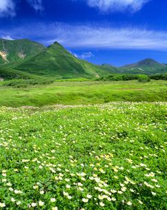 チングルマ群落 大雪山裾合平の写真素材 [FYI01528603]