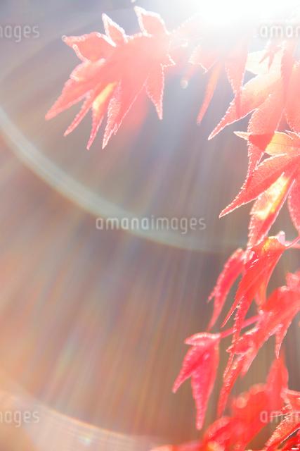 紅葉のモミジの葉と木漏れ日の写真素材 [FYI01528671]
