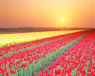 チューリップ畑の夕景の写真素材 [FYI01528742]