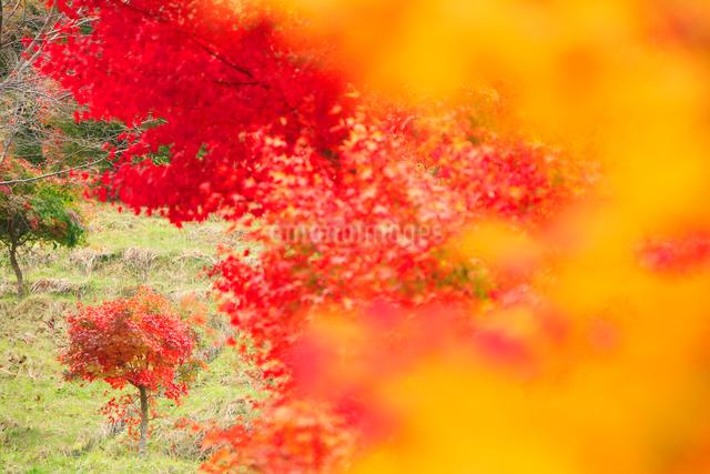 紅葉のモミジ木立の写真素材 [FYI01528763]