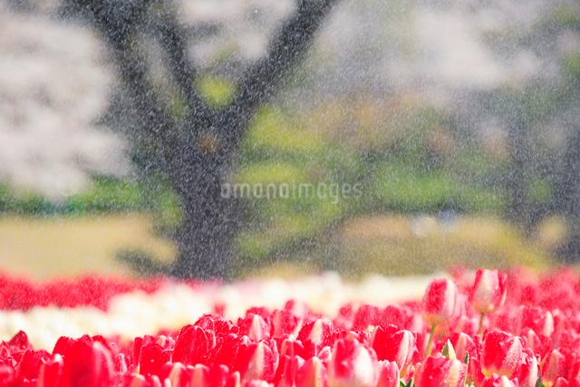 チューリップ畑と雨の写真素材 [FYI01528935]