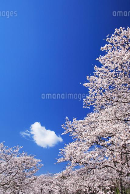 ソメイヨシノの写真素材 [FYI01529028]