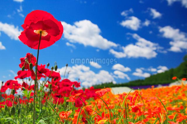 ポピーの花畑の写真素材 [FYI01529087]