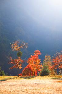 紅葉のモミジ林とヤドリギと朝の光の写真素材 [FYI01529151]