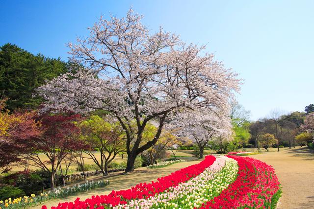 桜とチューリップ畑の写真素材 [FYI01529310]