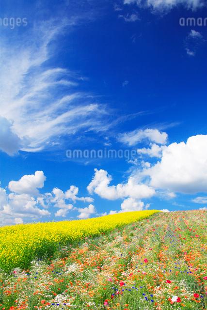 菜の花畑の写真素材 [FYI01529401]