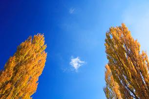 紅葉のポプラと雲の写真素材 [FYI01529426]