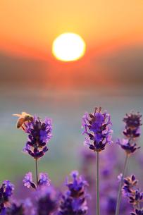 ラベンダーと夕日とミツバチの写真素材 [FYI01529437]