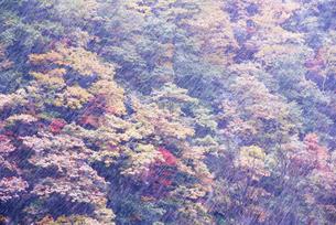紅葉樹林に降る雪の写真素材 [FYI01529446]