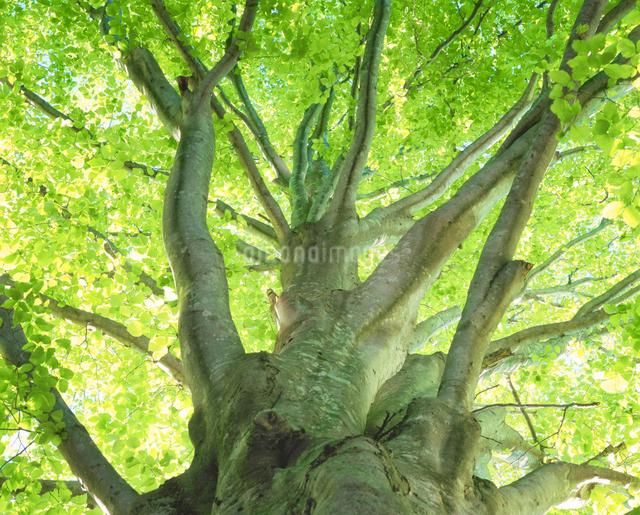 新緑のブナの写真素材 [FYI01529454]