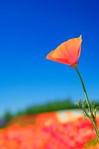カリフォルニアポピーの花畑の写真素材 [FYI01529473]