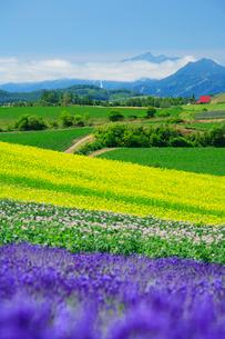 ラベンダーと菜の花とジャガイモ畑と芦別岳の写真素材 [FYI01529560]