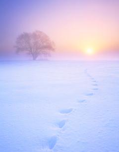 朝霧のハルニレの木とキタキツネの足跡の写真素材 [FYI01529578]