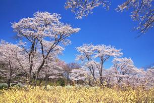 ソメイヨシノの林の写真素材 [FYI01529690]