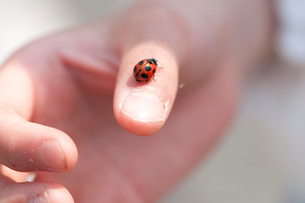 てんとう虫を親指にのせた手の写真素材 [FYI01529813]