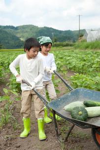 畑の中で野菜を積んだ一輪車を押す子供男女の写真素材 [FYI01530883]