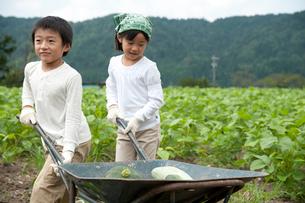 畑の中で野菜を積んだ一輪車を押す子供男女の写真素材 [FYI01531011]