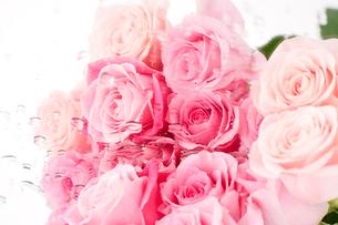 ピンクのバラの花の写真素材 [FYI01531065]