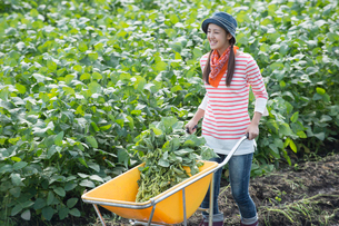 畑で収穫した枝豆を一輪車で運ぶ女性の写真素材 [FYI01534084]