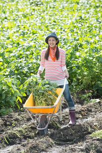 畑で枝豆を収穫する女性の写真素材 [FYI01534203]