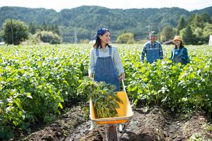畑で枝豆を収穫する娘と両親の写真素材 [FYI01534208]