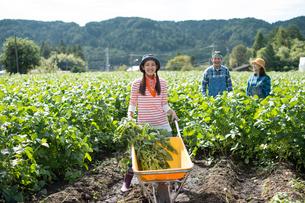 畑で枝豆を収穫する娘と両親の写真素材 [FYI01534385]
