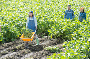 畑で枝豆を収穫する娘と両親の写真素材 [FYI01534524]