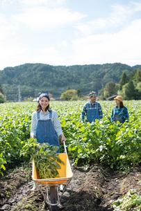 畑で枝豆を収穫する娘と両親の写真素材 [FYI01534628]