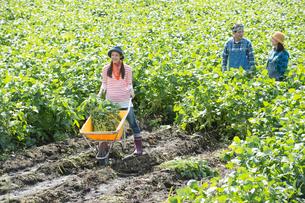 畑で枝豆を収穫する娘と両親の写真素材 [FYI01534673]