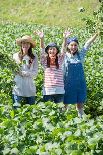 畑で枝豆を収穫する女性三人の写真素材 [FYI01534701]