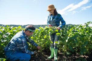 畑で枝豆を収穫する中高年夫婦の写真素材 [FYI01534935]