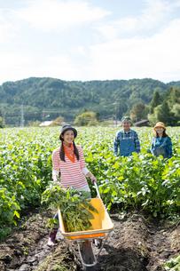畑で枝豆を収穫する娘と両親の写真素材 [FYI01535249]