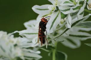 スズメバチの写真素材 [FYI01538866]