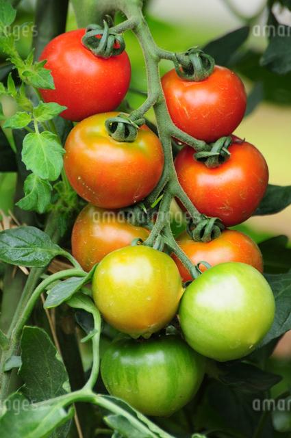 フルーツトマトの写真素材 [FYI01538885]