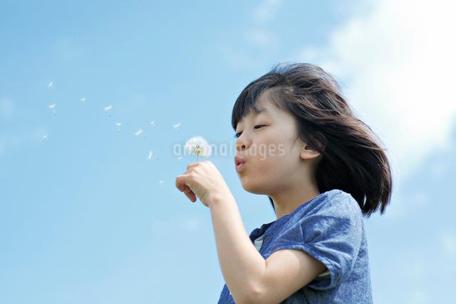 たんぽぽの綿毛を吹く女の子の写真素材 [FYI01539123]