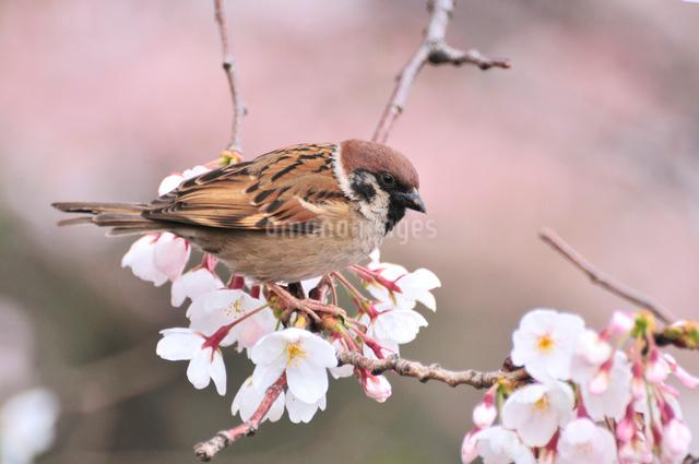 スズメと桜の写真素材 [FYI01539559]