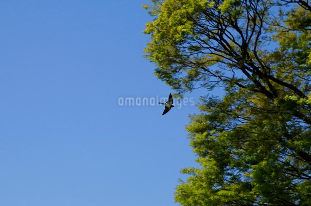 ツバメの写真素材 [FYI01539566]