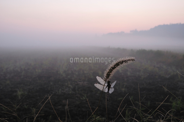 朝露のノシメトンボの写真素材 [FYI01539597]