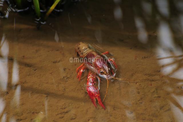 水田の中のザリガニの写真素材 [FYI01539960]